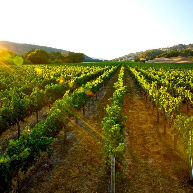 A Gallo vineyard